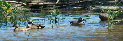 Blue-Winged Teals, Hagerman NWR
