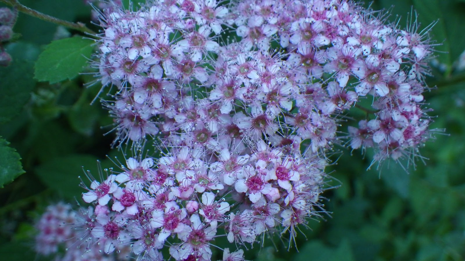Buddy S Blog Spirea A Couple Different Types Of Roses