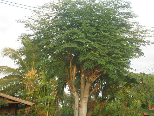 ต้นมะรุม