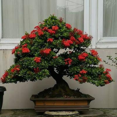 Indahnya Bonsai Bunga Asoka