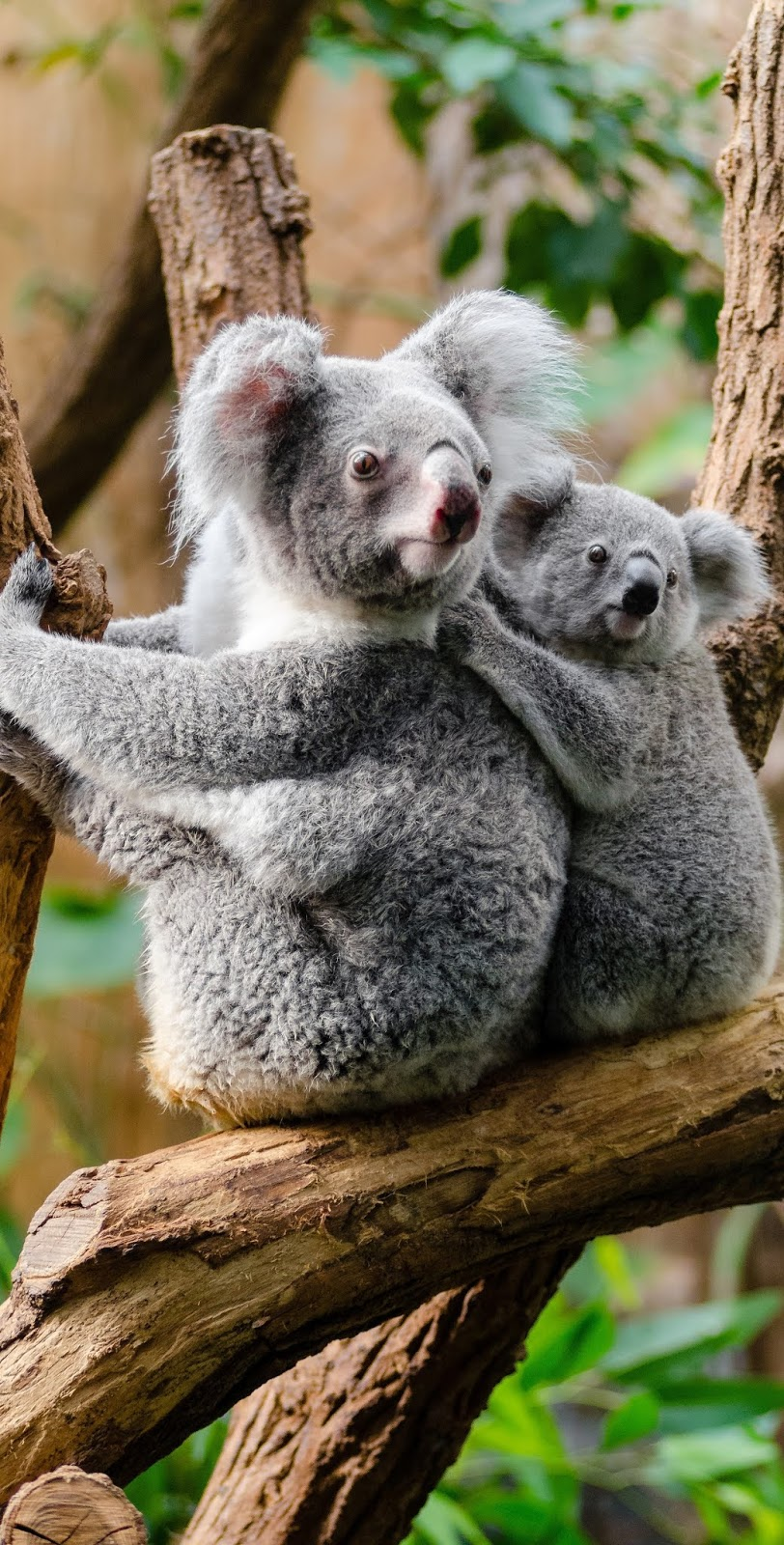 A cute koala baby holding on to her mother.