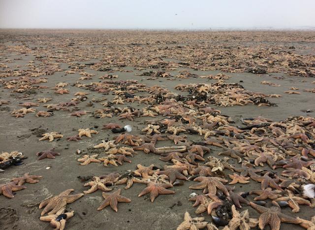 [Image: starfish-near-Callantsoog.png]