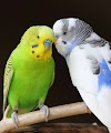 Kuşum İshal Oldu Diye Endişelenmeyin.İşte 3 Adımda Kuşlarda İshal Tedavisi >>>