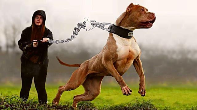Bazı köpekler bizlere dostluk yaptığı gibi bizi veya evimizi de dışarıya karşı koruyabilir. Ancak bazı köpeklerde vardır ki, örneğin süs köpekleri ve golden gibi oldukça uysaldırlar. Bu köpekler evinize girecek hırsızlara karşı pek tepki göstermeyeceği gibi onlarla oynamakta istebilirler.