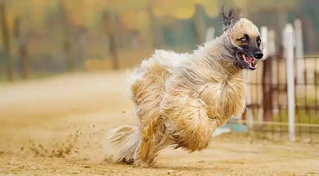 Afghan Hound Dog Breed Info: Price, Characteristics, Aggressiveness & Facts