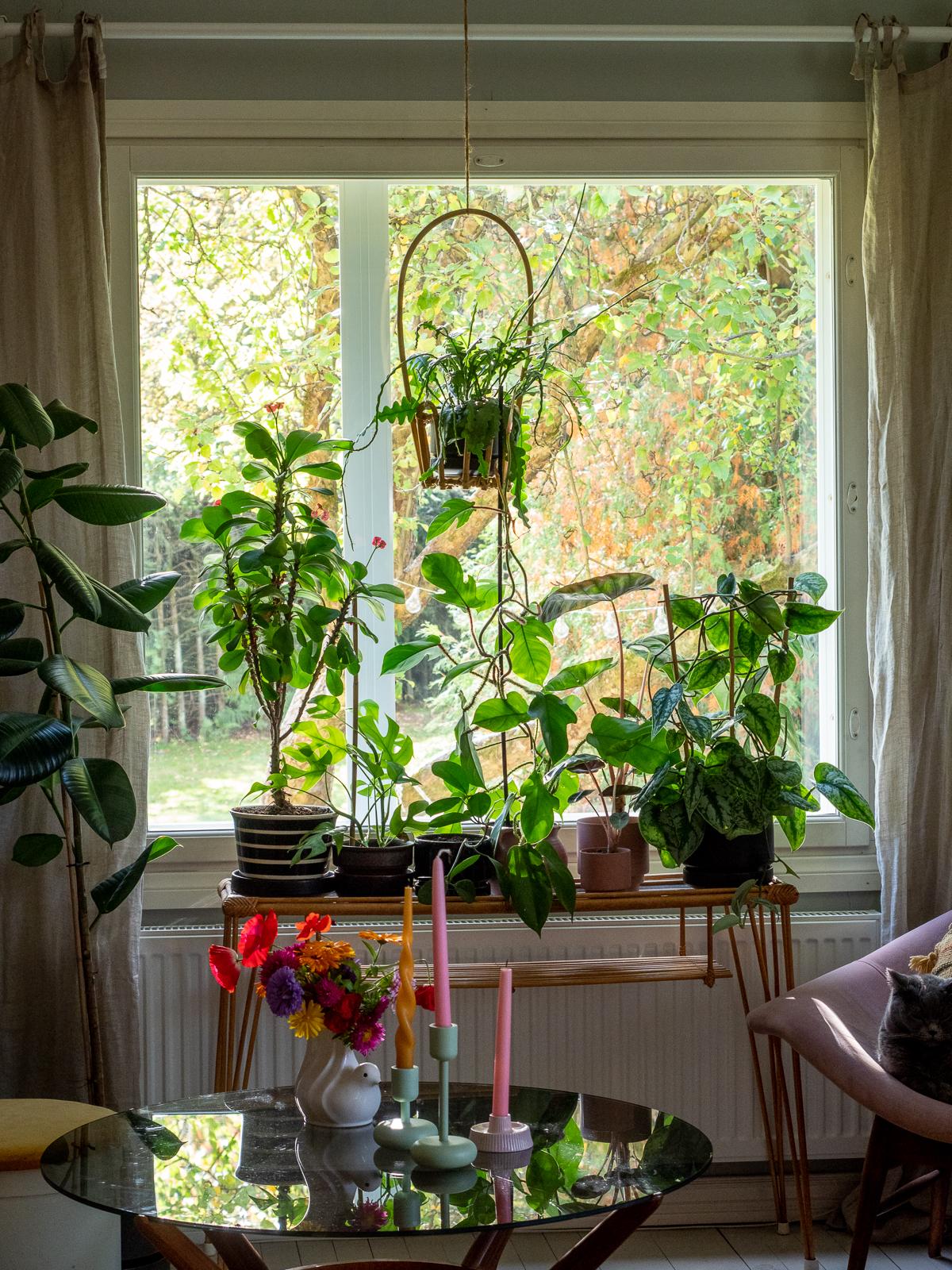 viherkasvit ikkunan eteen