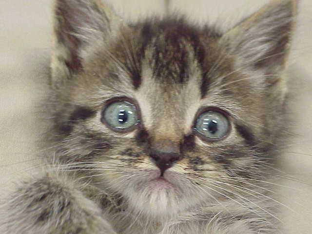 Cute blue eyed kitten