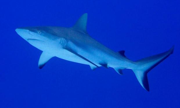 tiburon escudo