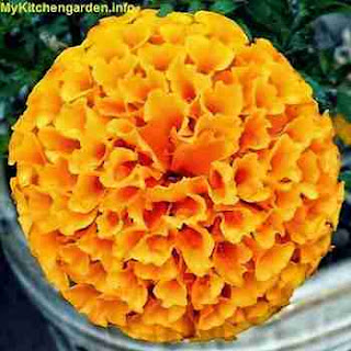 Plants That Repel Mosquitoes - Marigold
