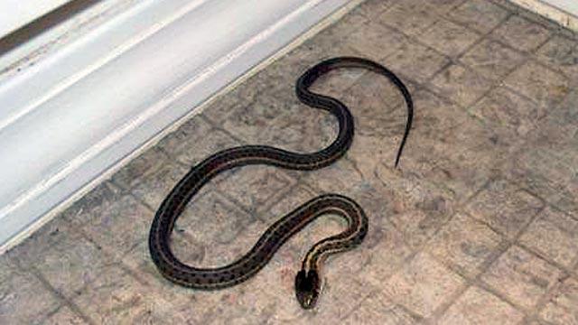 Ketika mendengar kata ular kebanyakan dari kita akan bergidik takut walaupun ada juga beb Cara Mencegah & Menjauhkan Ular Dari Rumah Anda
