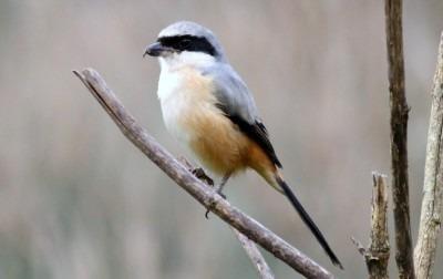 Jenis Burung Cendet