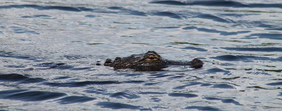 Alligator en el Kissimmee River