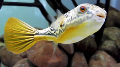 Fahaka Puffer ( Tetraodon lineatus )