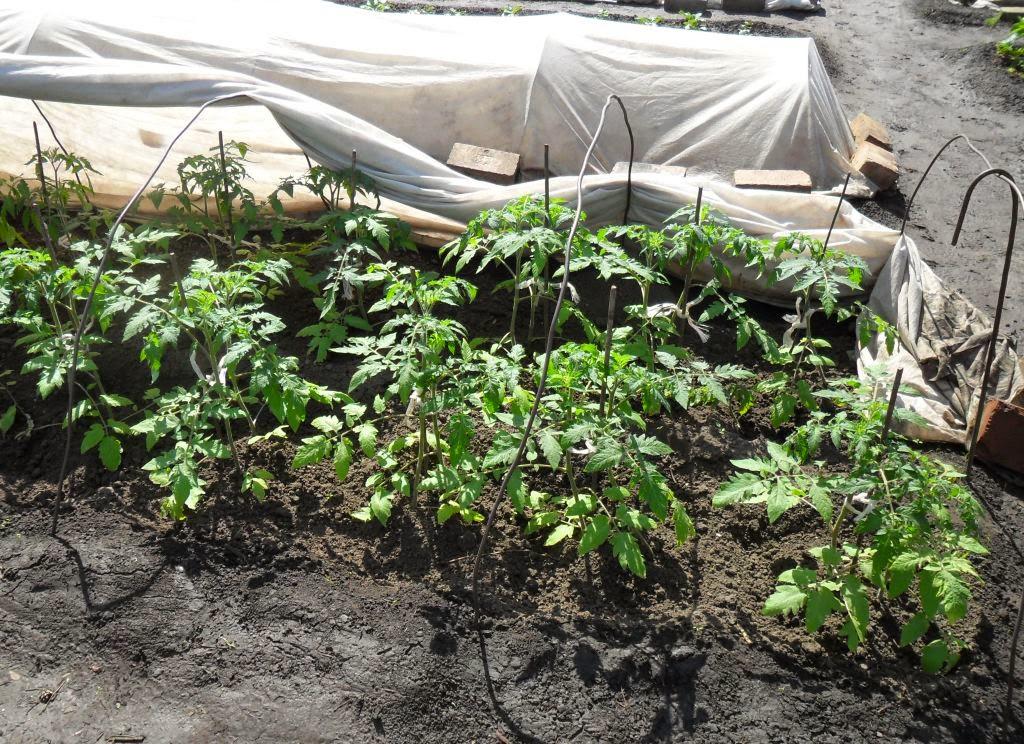 Высадка помидоров по два корня в лунку