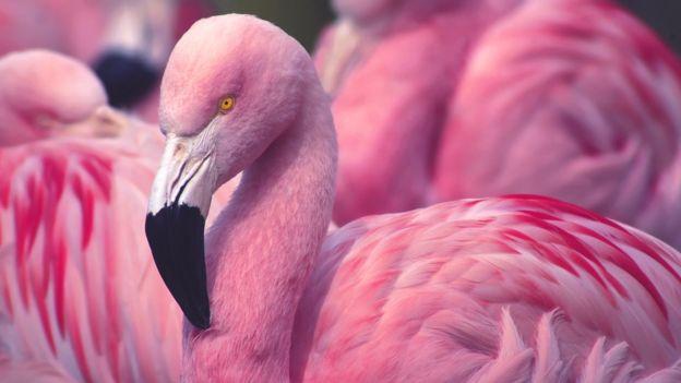 Amazing Facts: Flamingo