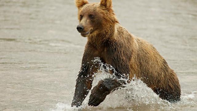 В ХМАО пенсионер вступил в схватку с медведицей, чтобы защитить жену