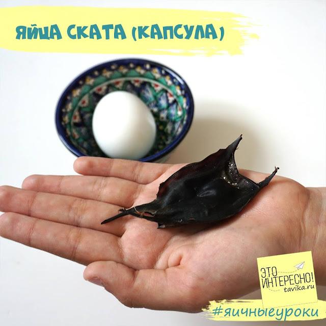 яйцо ската морской лисицы