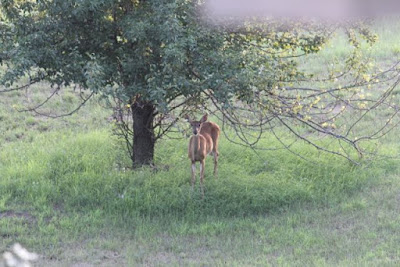 whitetail doe under pear tree