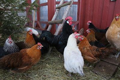 Cara memelihara ayam kampung