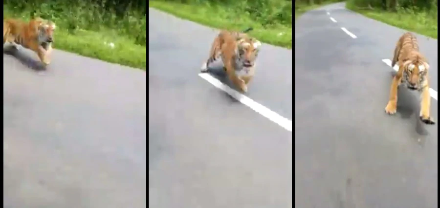 Hungry tiger emerges from jungle, pursues passing motorcyclist.
