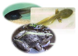 Alat Pernapasan Berudu dan Katak Dewasa (Amfibi)