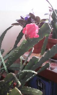 o specie de cactus inflorit