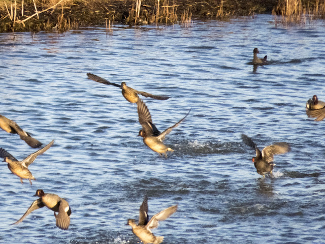 Flocks of teals taking flight at the Wexford Wildfowl Reserve