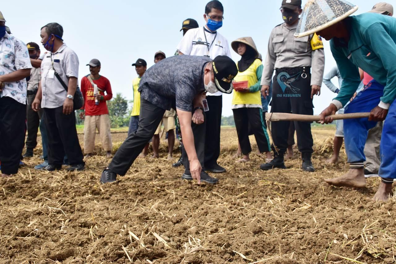 Program Padat Karya, Desa Bocor Tanam Kacang Tanah di Sawah 800 Ubin