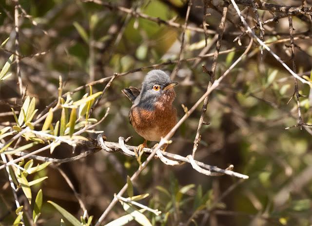 Tristram's Warbler - Paradise Valley, Morocco