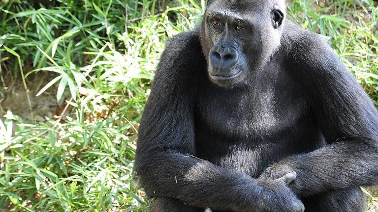Gorilas de um zoológico dos EUA, testaram positivo para a covid-19