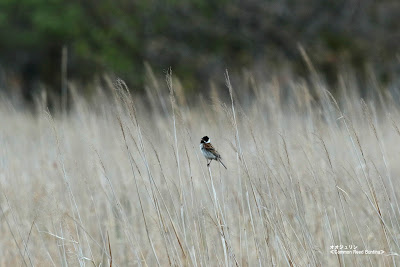 オオジュリン ≪Common Reed Bunting≫