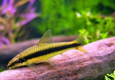 Gambar Ikan SAE (Siamese Algae Eater)
