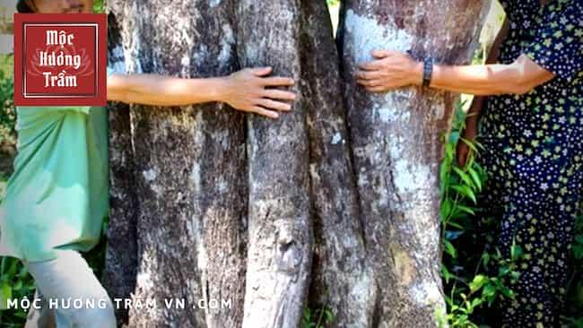 Thân cây phát triển khổng lồ của cây trầm hương
