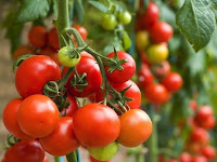Inovasi Baru Tambulapot Tanaman Tomat Pada Lahan Gambut