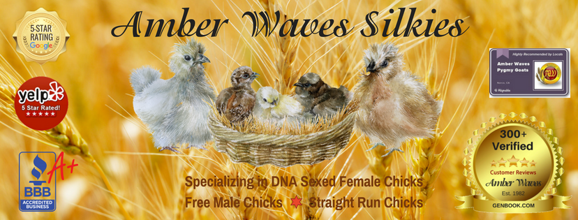 Amber Waves Bearded Bantam Silkies
