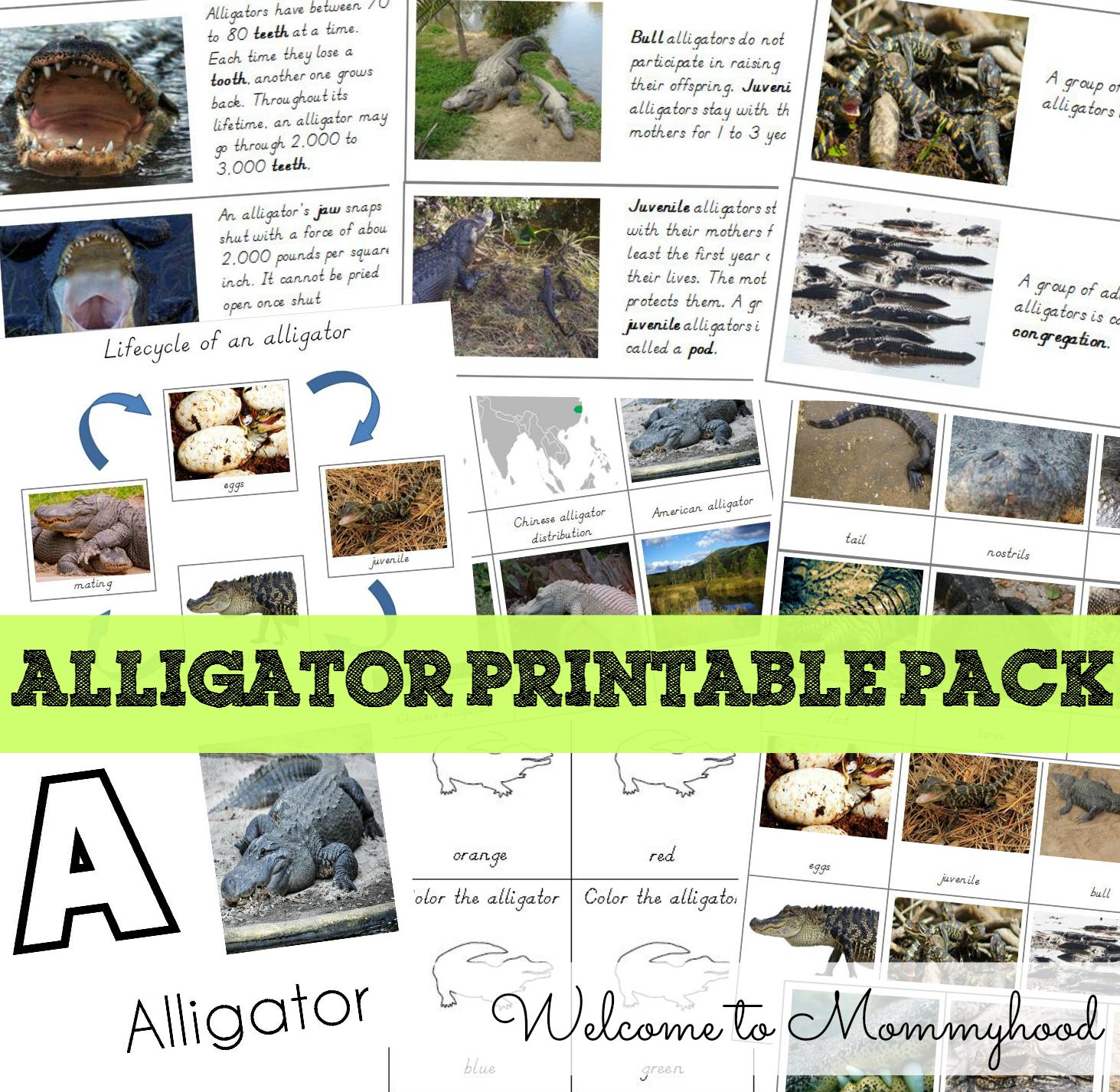 Preschool activities: FREE alligator printables by Welcome to Mommyhood #preschoolactivities, #toddleractivities, #montessori, #freeprintables
