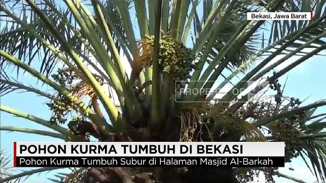 Kurma Bisa Tumbuh Dan Berbuah Di Indonesia