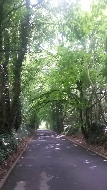 Oak tree lined road