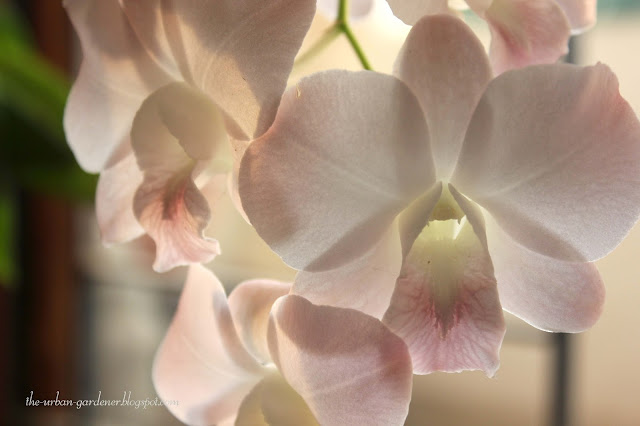 Dendrobium Visa Airy Peach orchid in pale pink flower. Grown in Mumbai city.