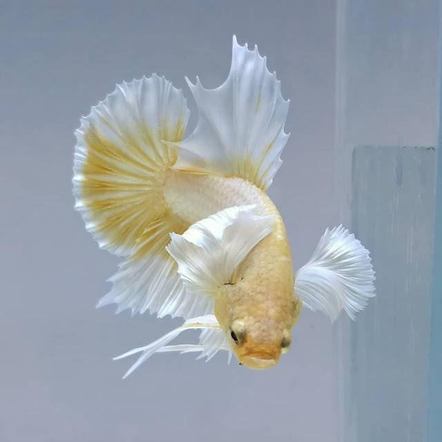 Ikan Cupang Veiltail