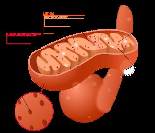 struktur mitokondria sebagai organel untuk respirasi