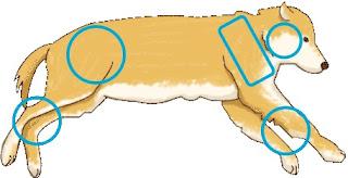escaras de ulcera de pressão em cães