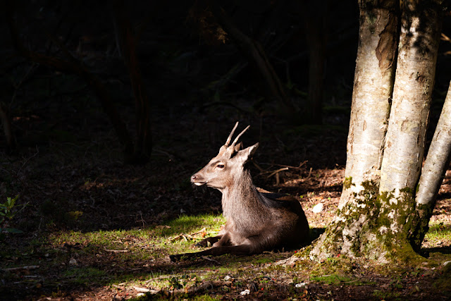 National Trust nature Reserve on Brownsea Island is home to Roe Deer