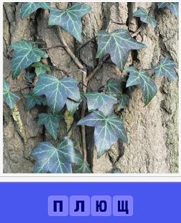 на стволе дерева растет обыкновенный плющ
