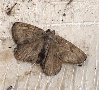 Male Asian gypsy moth stuck on trap