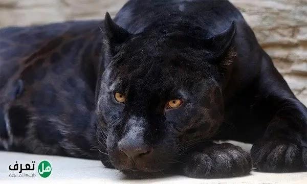 حيوان الجاكوار الأسود