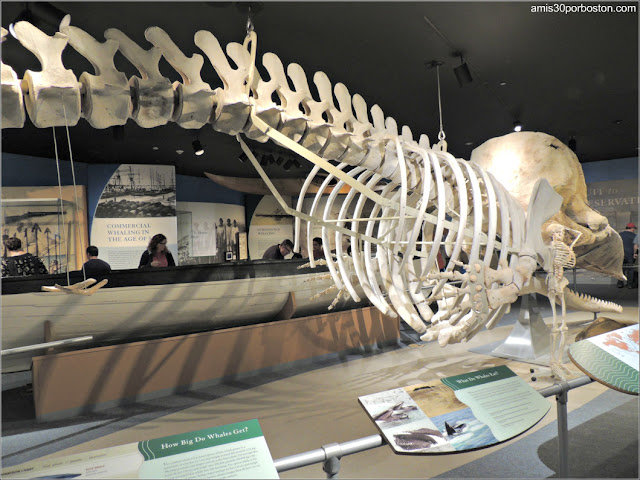 Esqueleto de Cachalote en el Museo de las Ballenas de New Bedford