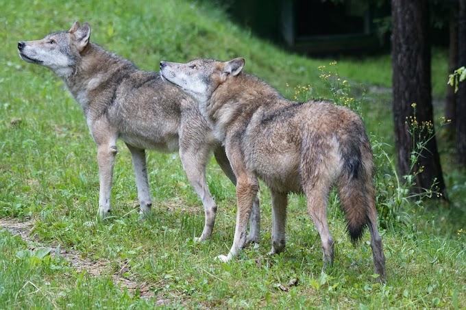 Wwf Basilicata: preoccupa l'incolumità dei lupi