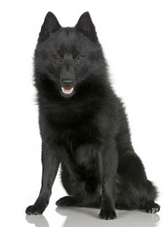 Everything about your Schipperke