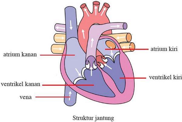 struktur organ jantung manusia
